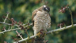 Sparrowhawk | Ястреб перепелятник (Accipiter nisus), хищные птицы