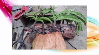 Chăm lan suy yếu và cách ghép lan - làm tã cho lan, làm nước vôi trong