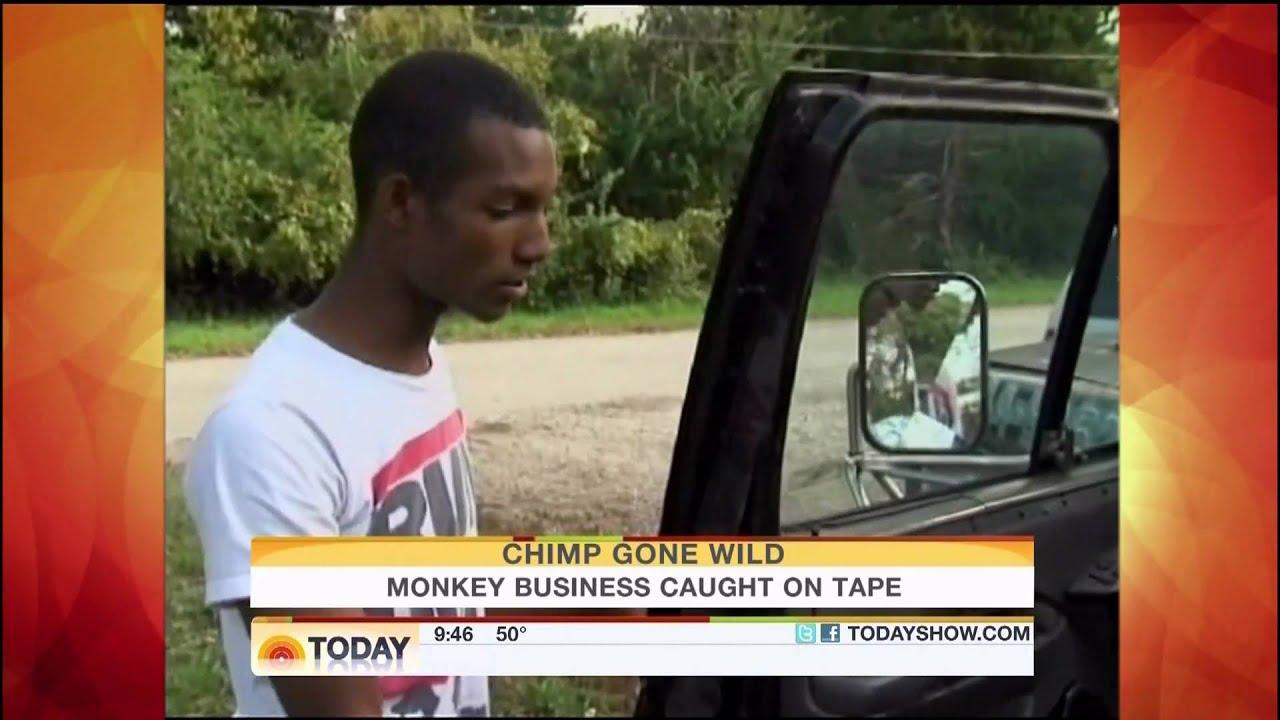★DONKEY KONG★ 300 Pound Chimp (Monkey) Wreaks Havoc on Neighborhood,  Attacks Cop Car