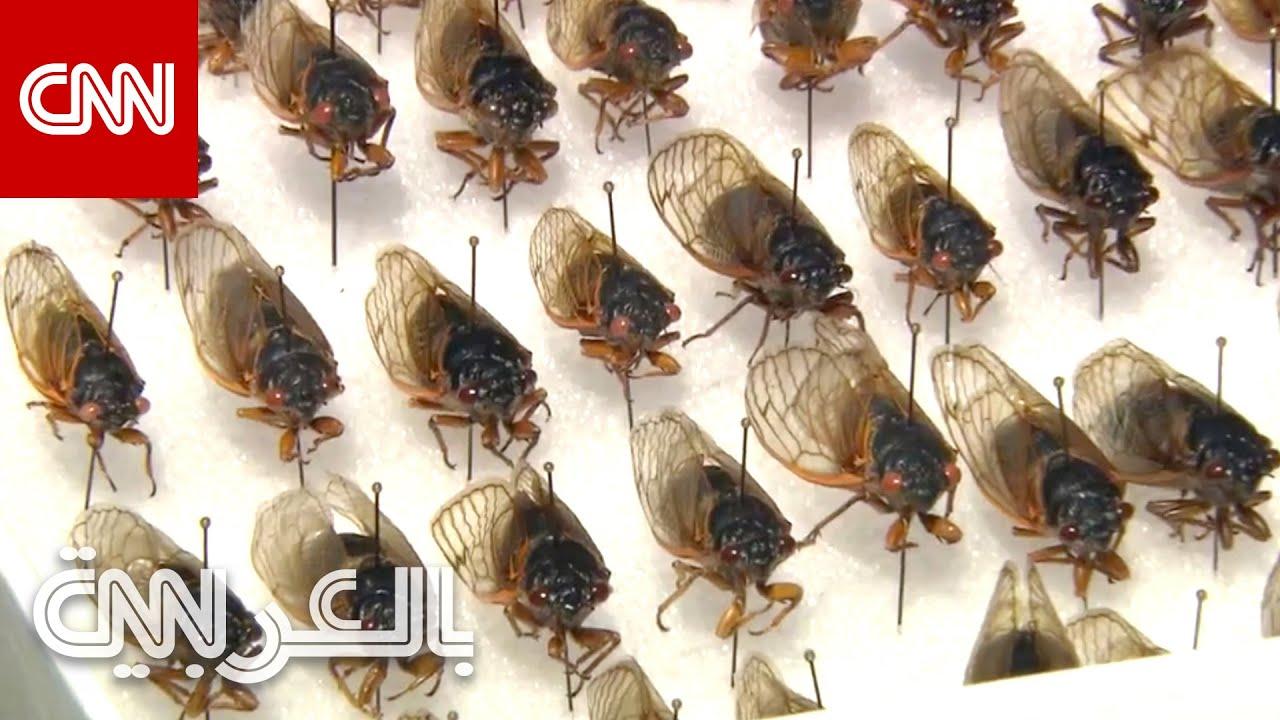 مليارات من حشرات -الزيز- تستعد لغزو أمريكا بعد 17 عامًا قضتها تحت الأرض  - نشر قبل 8 ساعة