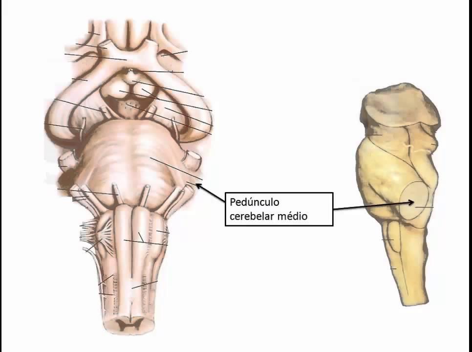 Tronco Encefálico - Anatomia ESCS - YouTube