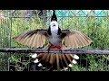 Suara Merdu Burung Kutilang Jambul Pycnonotus Jacosus Buat Master Jernih(.mp3 .mp4) Mp3 - Mp4 Download