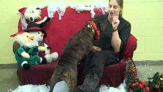 Dogs Trust Salisbury: The 12 Staffies of Christmas