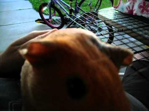 How to pet your guinea pig - Guinea Pig Happy Sounds !