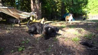 Bug Puppies For Sale 2015