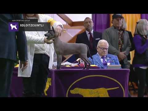 Xoloitzcuintli   Breed Judging 2019