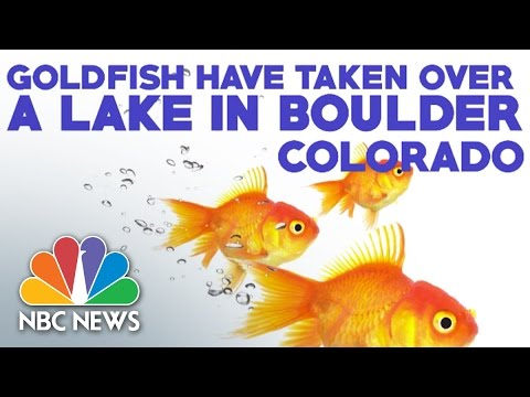 Goldfish Infestation In Boulder Colorado Lake | NBC News