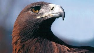 all Eagle العقاب ملك الطيور