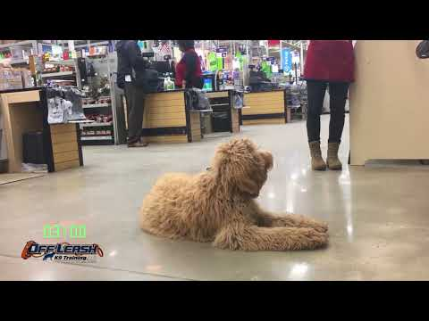 "6 Month Old Goldendoodle ""Pippa"" Before/After Video 