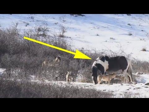 Un Cheval A Croisé Six Loups Sauvages et A Fait Quelque Chose Qui A Terrifié Le Photographe
