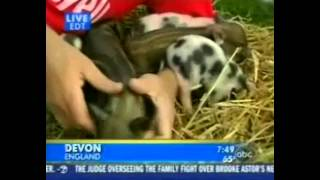 Micro pigs hit the big screens on Good Morning America