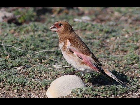 Eurasian crimson-winged finch (Rhodopechys sanguineus)   Ροδόφτερη Σπίζα - Cyprus