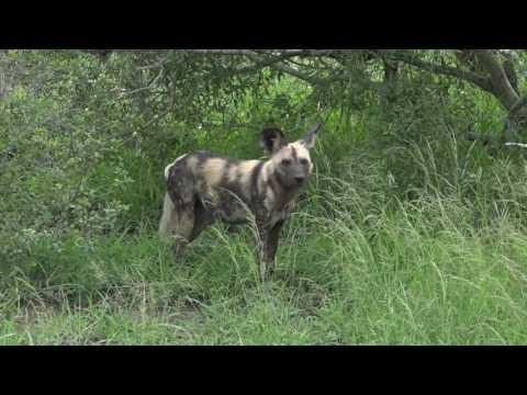 safariLIVE - Sunrise Safari - Jan. 30, 2017 - Nat Geo WILD Ep 5
