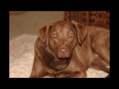 Truffle our Chesapeake Bay Retriever (Chessie) Dog