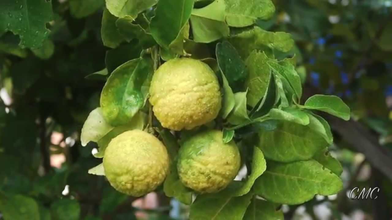 kaffir lime trees very pretty - Kaffir Lime Tree