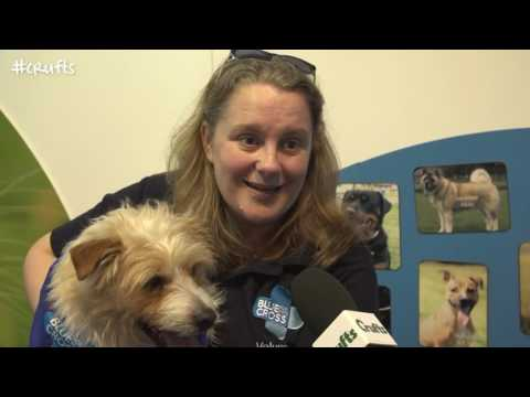 Olly the Jack Russell - Crufts Interview