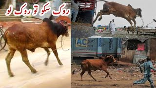 Very Funny ll Qurbani Animals Run Away during Unloading II Qurbani Animals out of Control Part I