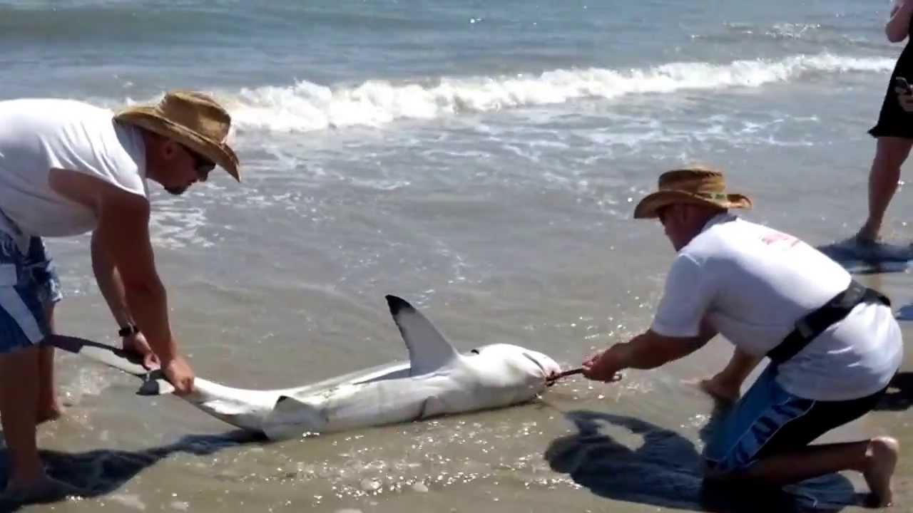 Shark At Edisto Beach Sc