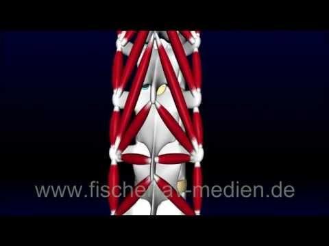 Autochthone Rückenmuskulatur - kurz und bündig - 3D Animation - YouTube