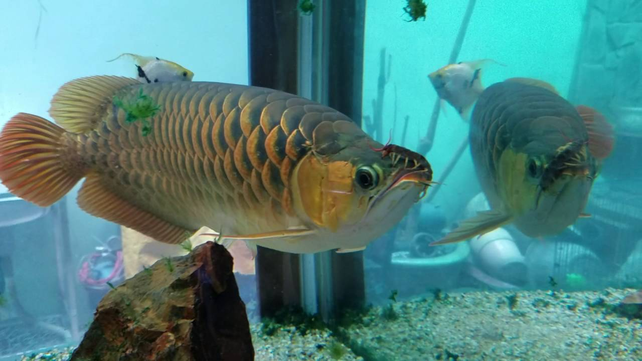 Giant golden arowana & giant siamese tiger fish - YouTube |Giant Arowana