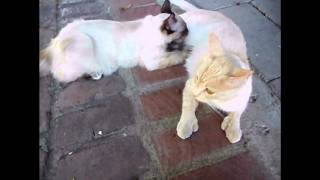 Polydactyl Cat Getting Massaged by Her Nursing Kitten