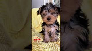 we have available teacup yorkie puppies for adoption
