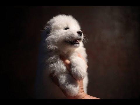 • ●  SASHA  ● •  [1 month old] | Samoyed puppy