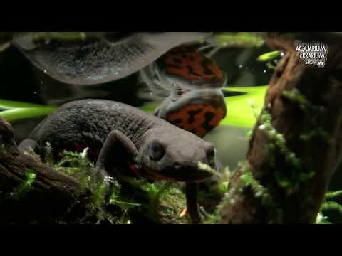 Cynops Orientalis (HD Movie 21) - Alongside The Water Surface - Paludarium.