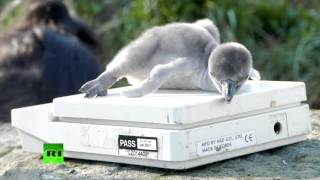 Endangered baby penguins hatch at Chester Zoo thumbnail