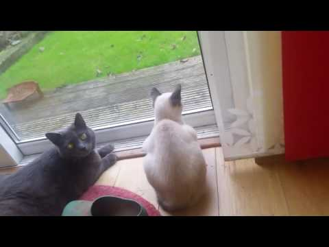 Siamese with Russian Blue watching other cat