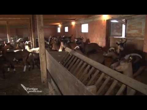 Farma koza u selu Americ   U nasem ataru 567