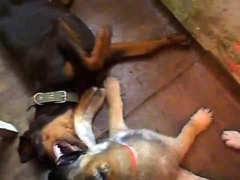 - сайт о собаках
