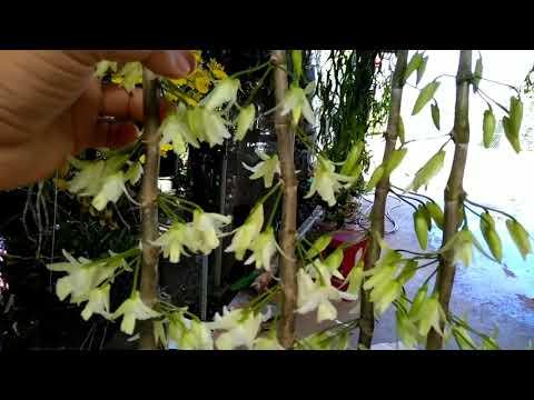 Ngắm hoa lan- đại ý thảo đột biến