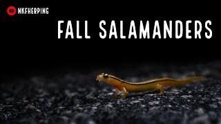 Fall Salamanders and First Snake of November