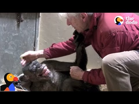 Dying Chimp Says Goodbye To Old Friend   The Dodo