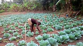 RICHARDS CABBAGE FARM