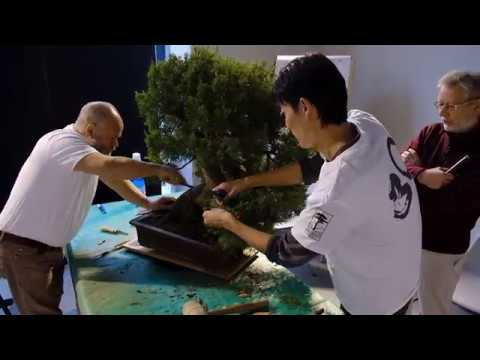 Bonsai demonstration by Minoru Akiyama