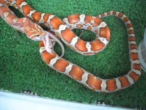 Corn snake padrão crimson