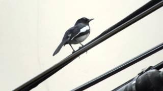 """นกเมืองไทย in Bangkok(Birds of Thailand) """"Oriental Magpie-Robin/นกกางเขนบัาน"""