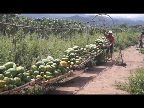 Carry papayas over the countryland by cableway