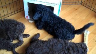 8 Week Old Glicks Standard Poodles Snippets