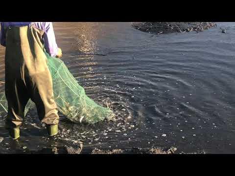 屏東漁塭 虱目魚混養白蝦池 清池紀錄 - YouTube