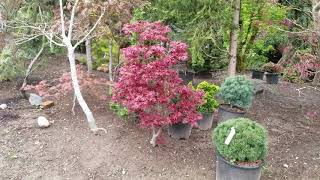 Japanese Maple tree - Amazing Maples 2019