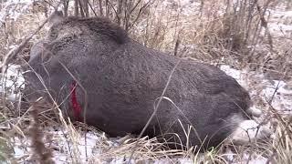 Загонная охота на лося с лайкой