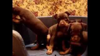 Купить щенка той-терьера. Русский той, мини.8-905-546-66-92