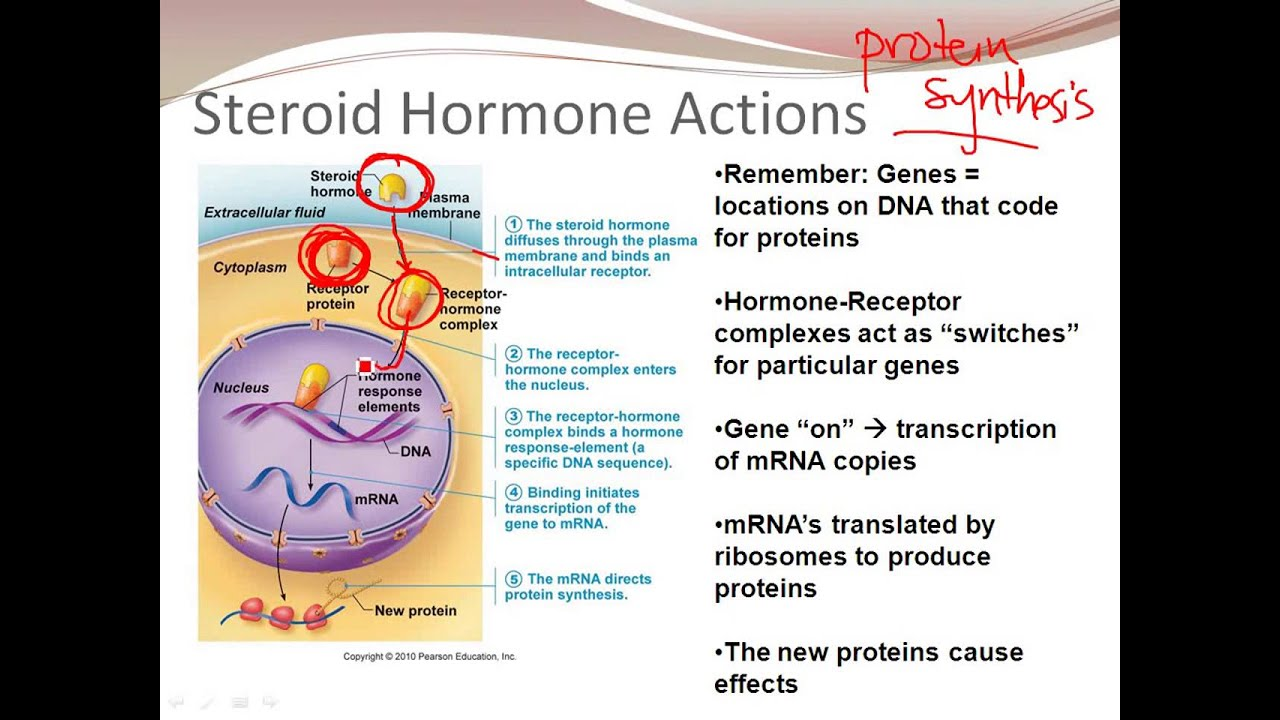 non steroid hormones water soluble