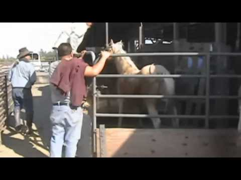 Horse Abuse at Roseville Livestock Auction