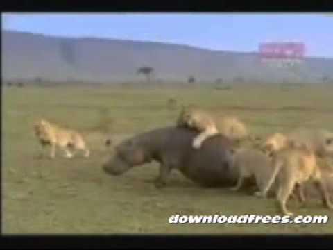 hà mã đấu sư tử