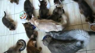 Кошки сомали и котята кушают  Somali cats and kittens