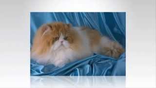 Персидские кошки.